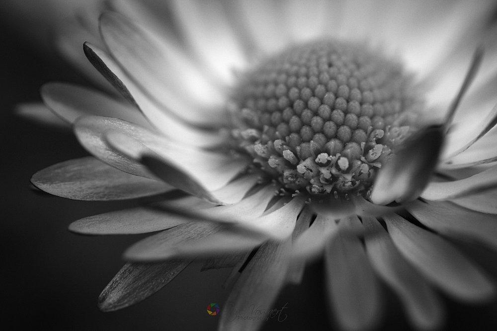 Daisy-1.jpg
